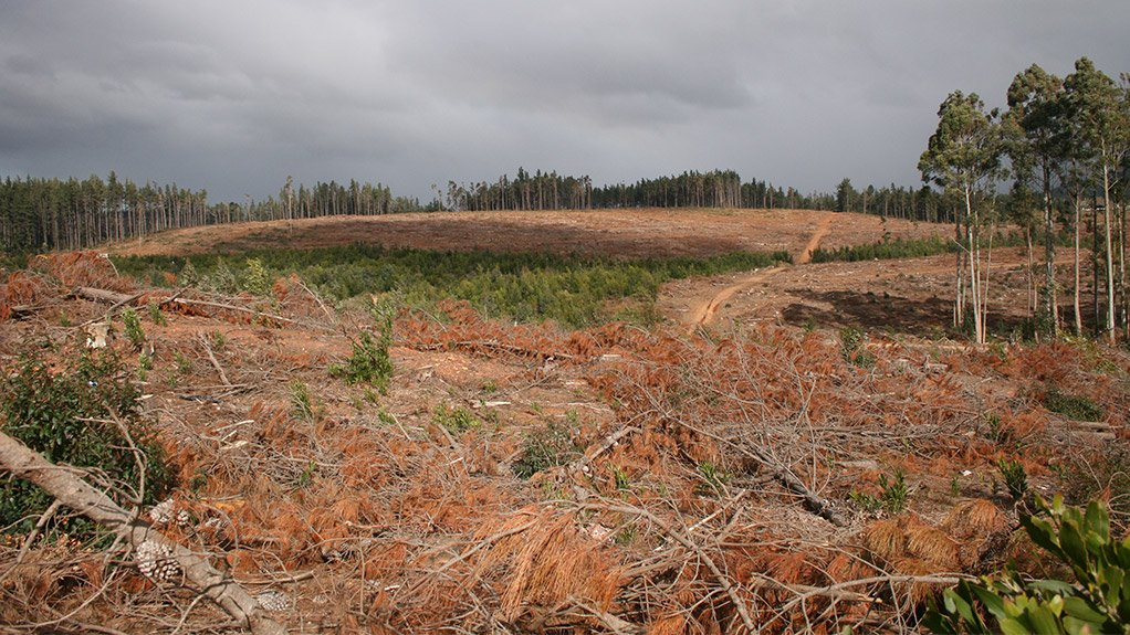 NO TIME LIKE THE PRESENT Planting new pines should take place as soon as possible, instead of in 2020, to ensure that local forests are sustainable