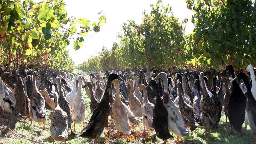 DUCK ARMY Around 1 000 Indian Runner ducks have been employed to eradicate the white dune snail population at Vergenoegd Wine farm in Stellenbosch