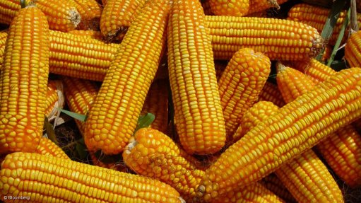 BIOPHARMING POTENTIAL  Maize, potato, and tobacco plants can be used in biopharming