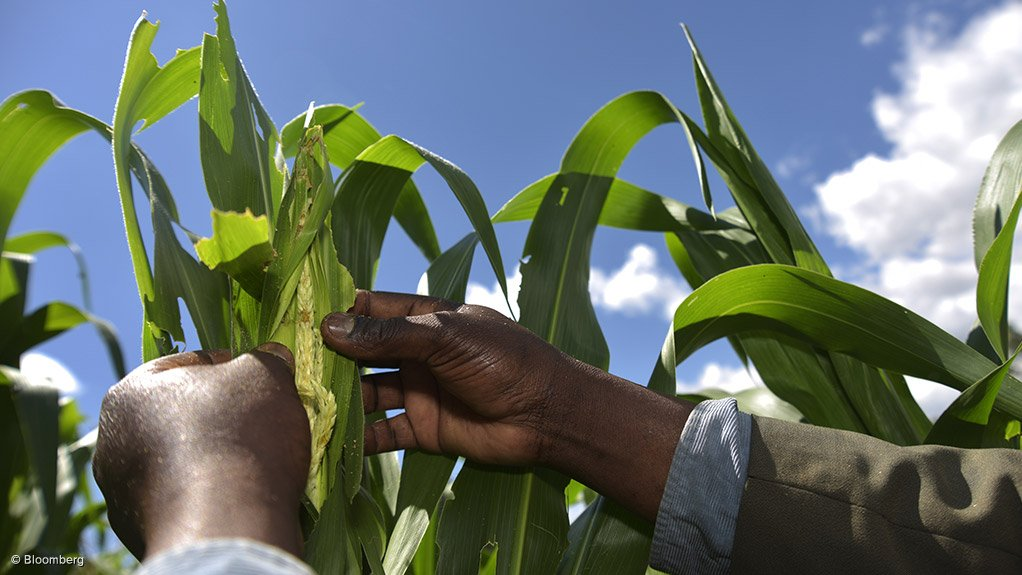 PEST ARMY  The invasion of the fall armyworm is threatening the food security of 300-million people in Africa