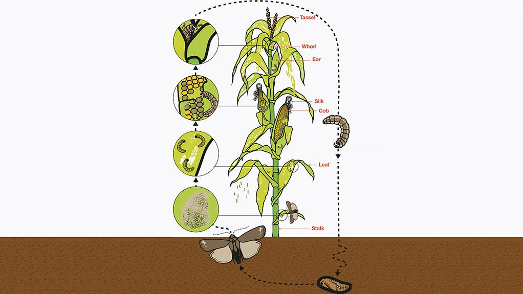 LIFE CYCLE  The fall armyworm has a 25 to 30 day life cycle