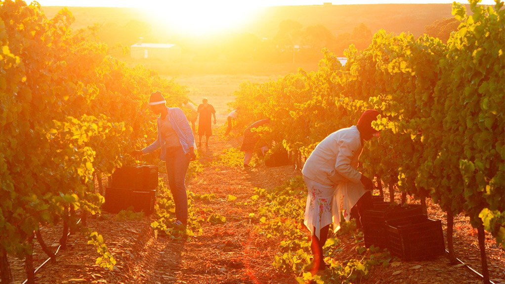 RIPE FOR THE PICKING The harvest done at exactly the right time makes for a good wine