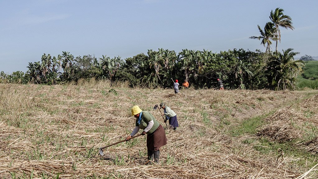 WOMEN IN SUGAR More than 65% of those who have benefited from the Illovo Maragra plantation partnership to date have been women