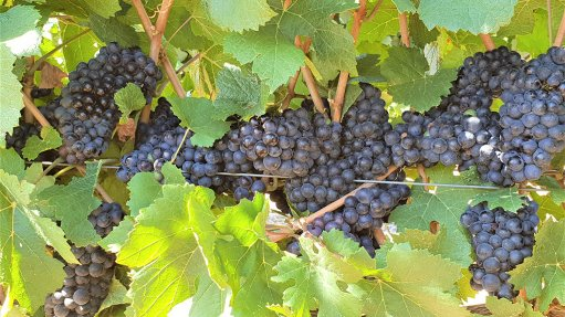 South African wine grape crop for 2019 'marginally larger' – Vinpro