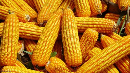 South Africa's 2019 maize crop seen down 16% on drought conditions