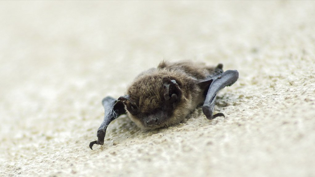BETTING ON BATS A preliminary study may be initiated next year to identify the native bat species in KwaZulu-Natal and Mpumalanga to curb the impact of Eldana on sugarcane crops