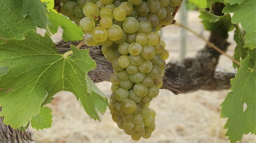Wine grape conditions improving this year