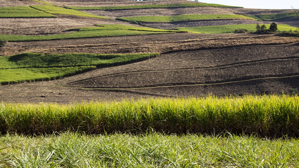 THE NUMBERS GAME  The South African cane-growing sector comprises 21 500 cane growers – of which 20 200 are small-scale growers, producing about 20% of the 19-million tons of cane a year