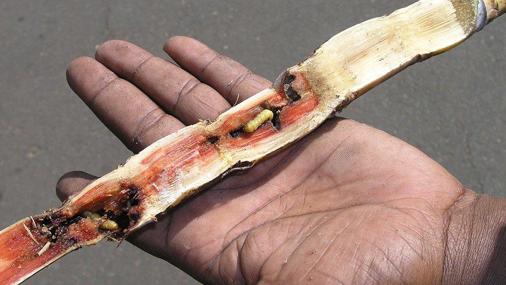 PESKY PROBLEM The Eldana saccharina larvae bore into sugar cane and can ruin entire crops