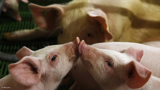 African swine fever detected in Western Cape