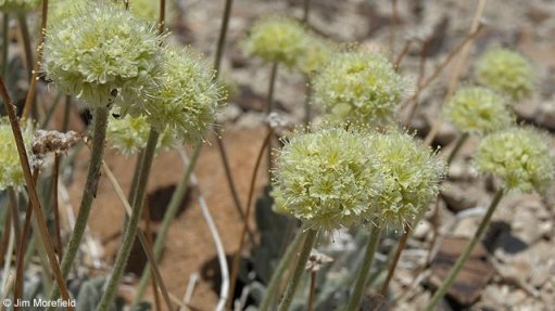 US to list Nevada flower as endangered, dealing blow to lithium mine