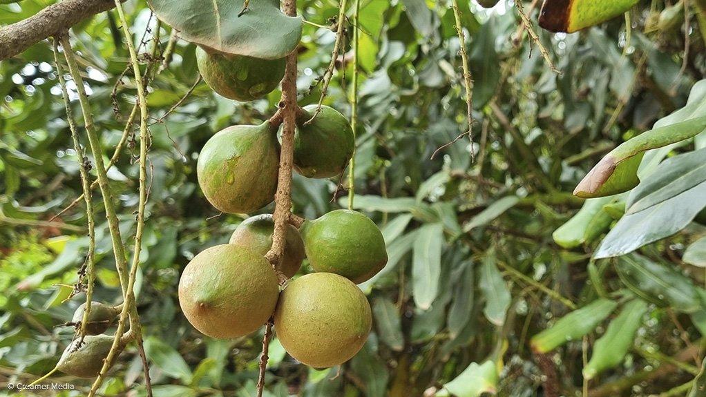 Macadamia nut on tree