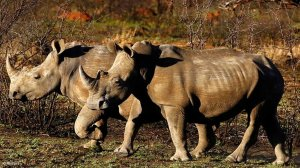 ShotSpotter helps reduce rhino poaching in Kruger National Park